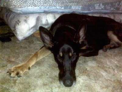 Cairo the Doberman Shepherd is laying on the ground next to a bed
