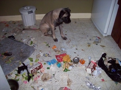 Lady Guinevere the Old English Mastiff sitting in the kitchen surrounded by trash