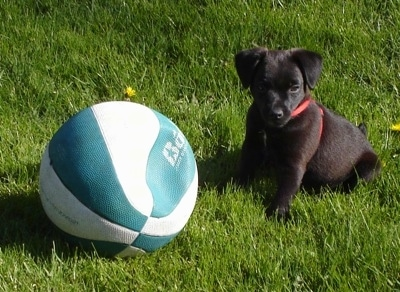 Meco the Patterdale Terrier Puppy sitting in grass next to a flat basketball