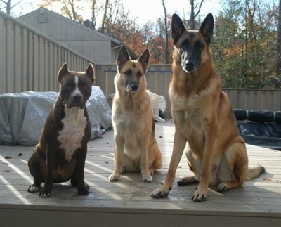 Three dogs are sitting next to each other outside on a wooden deck.