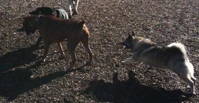 A dog playing with Bruno the Boxer and Tia the Norwegian Elkhound running towards them