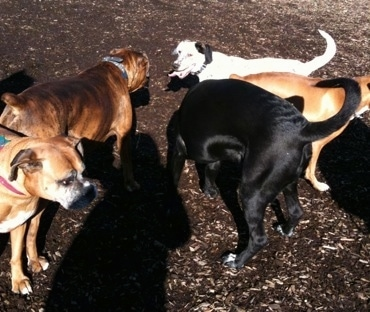 Five Dogs in a cluster at the dog park