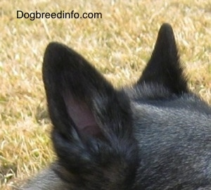 Close Up - The right side of the black ears of a dog that is outside.