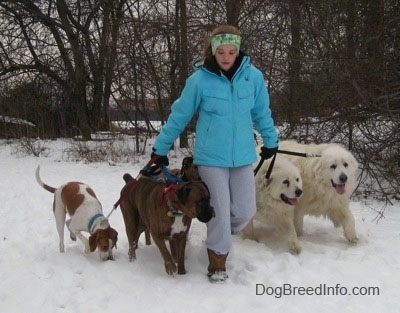 A lady walking Five dogs, who are all heeling, in the snow