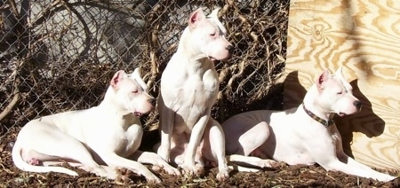 Bella, Zoe and Lucero the white Dogos are laying and sitting in front of a chain link fence. The furthest right dog is in front of a wooden board leaning on a fence