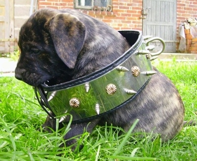 Topatacaya de Rey Gladiador the Presa Canario puppy is sitting in grass with a huge collar around its body