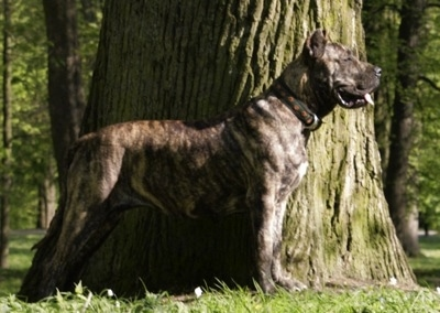 Left Profile - Tobatacaya de Rey Gladiador the Presa Canario is standing in front of a large tree with its tongue out and mouth open