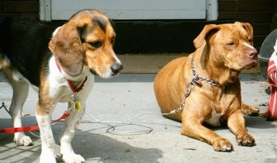 A black, tan and white tricolor Beagle is standing in a driveway next to a laying red-nose Pit Bull