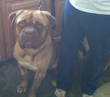 Guinness the Dogue de Bordeaux is sitting next to a person in a kitchen