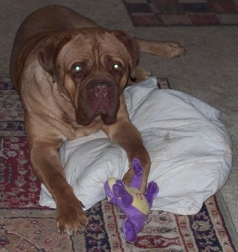 Guinness the Dogue de Bordeaux.
