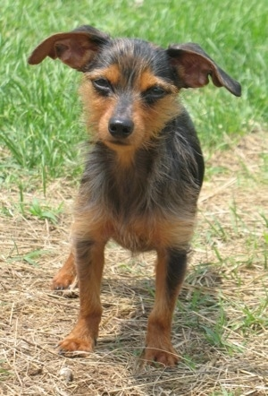 Winston the black and tan Dorkie is standing outside in brown grass. His ears are very large and out to the sides like a Gremlin.