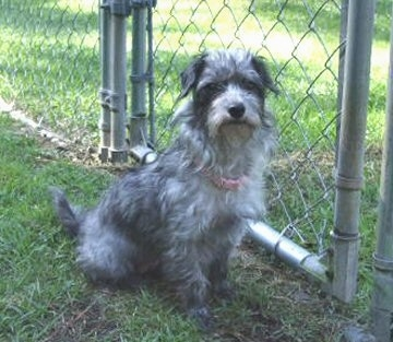 Juno the grey with black Doxiepoo is sitting outside in a front chain link fence gate.