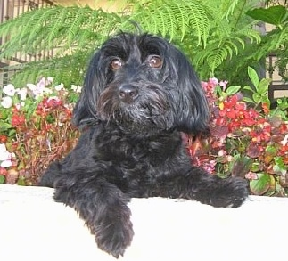 Toby the wavy coated black Doxiepoo is laying in a flower bed