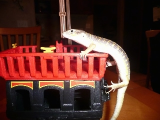 Left Profile - An Egyptian skink is climbing up the side of a toy into a red plastic basket.