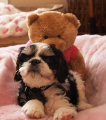 A black and white Engachon puppy is laying down in a pink dog bed with a brown teddy bear behind it