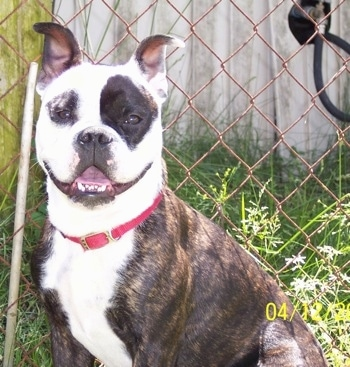 Bocephus the brown brindle and white English Boston-Bulldog is wearing a red collar and sitting in front of a chain link fence. His mouth is open, it looks like he is smiling.