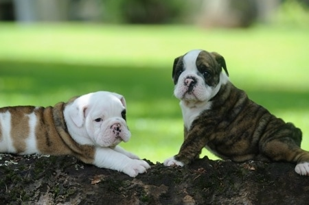 One English Bulldog Puppy is laying on a log and the other one is sitting in front of it