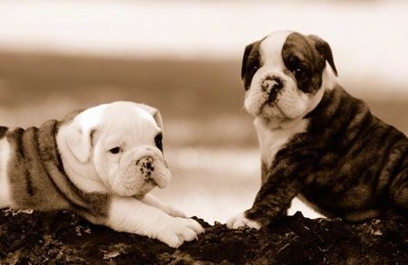 Close Up - Sepia Photo - One English Bulldog Puppy is laying on a log and the other one is sitting in front of it