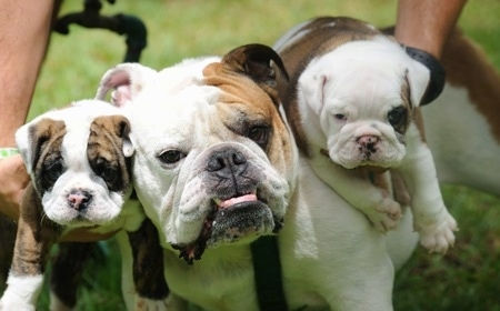 Close Up - An adult English Bulldog standing in the middle of two English Bulldog puppies who are being held next to its head