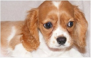 Close Up - A reddish-brown and white English King puppy is looking down