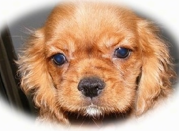 Close Up - A reddish-brown English King Puppies face