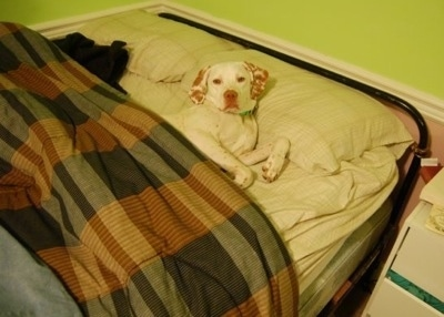 A white with red Pointer dog is laying in a bed and it is covered by a brown plaid comforter.