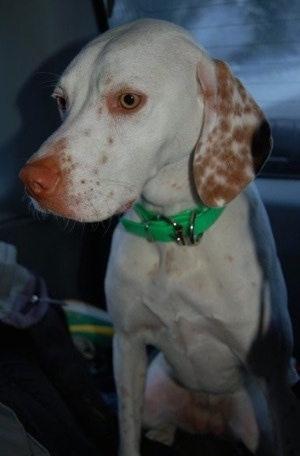 Grendel the Pointer at 2 years old. Her coloring is white with orange freckles.