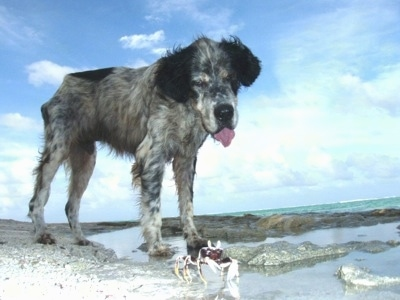 Boomi the black, white and tan ticked English Setter is standing on a beach near a large body of water. Boomis tongue is out as he looks down at a hermit crab moving across the beach
