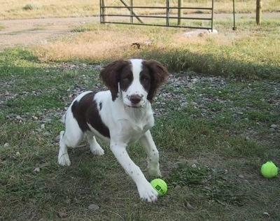 Action shot - Tootsie the English Springer Spaniel puppy is playing outside with two tennis balls