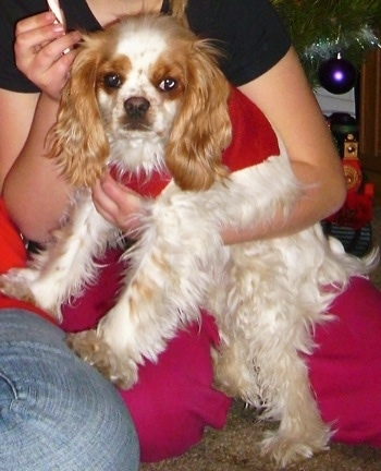 Abbie the white with brown ticked English Toy Cocker Spaniel is being held tightly to a persons chest. Abbie is wearing a red bandana