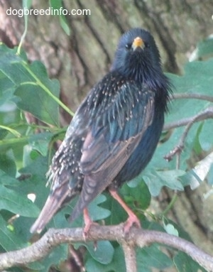 European Starling Bird standing on a branch with its head turned 90 degrees to the right