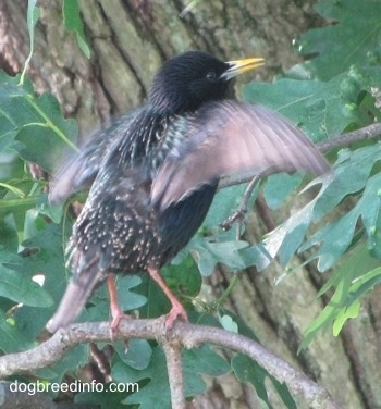 European Starling Bird with its wings flapping