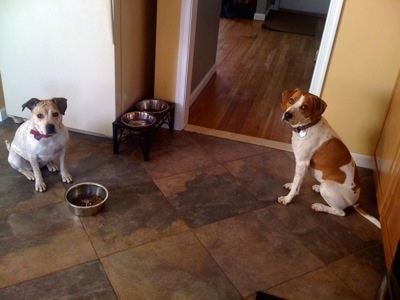 Two dogs are sitting on the kitchen floor waiting to be told they can eat out of the bowl