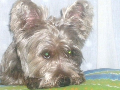 This is ToTo a male Fourche Terrier at about 15 months old.