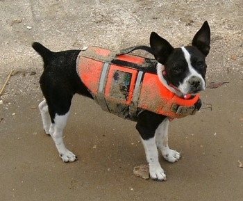 A black with white Foxton is standing on a sandy beach and wearing an orange life vest covered in sand.
