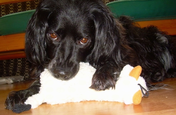 A black French Brittany Spaniel is laying in front of a couch. Its front left paw is over top of a plush toy with its mouth on the back side of the doll