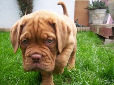 A Dogue de Bordeaux is walking around outside in a grassy yard.
