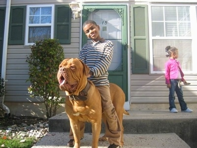 A Boy is sitting on top of a Dogue de Bordeaux in front of a tan and green house. The Dogues mouth is open and tongue is out. There is a little girl standing on the porch in the background