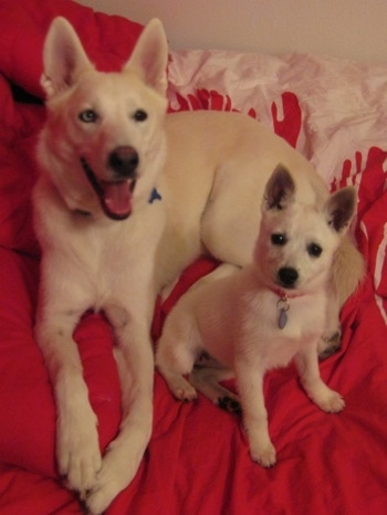 Two dogs next to one another on a red blanket inside of a home - A smiling white Siberian Husky and a white Alaskan Klee Kai.