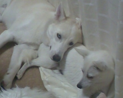 A white Siberian Husky is laying against a bed on the backside of a white Alaskan Klee Kai