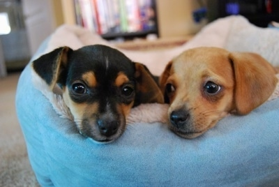 Head shot of two small dogs - A black and tan Chiweenie is laying in a dog bed next to a tan Jack Chi
