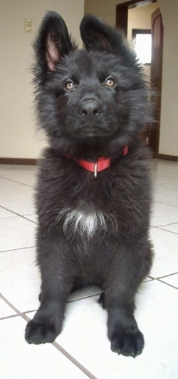 A fluffy black with a tuft of white German Shepherd is sitting on a tiled white floor