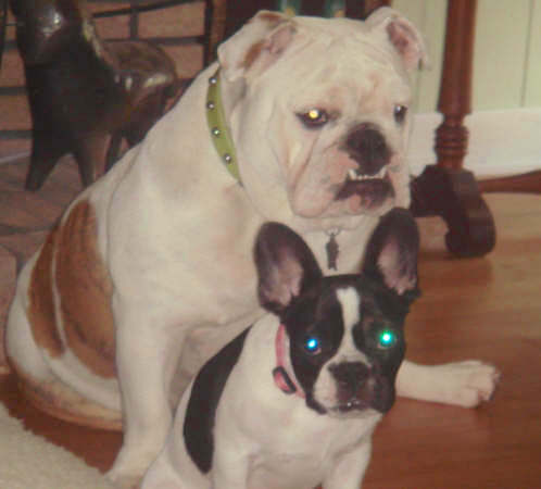 A white with brown English Bulldog is sitting in front of a white with black French Bulldog puppy on a hardwood floor inside of a house.
