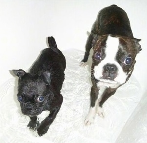 A black Pug puppy and a brindle Boston Terrier are standing in a tub of water looking up.