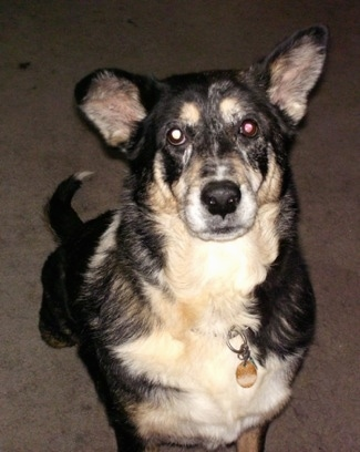 MacKenzie the Australian Shepherd / German Shepherd mix at 10 years old.