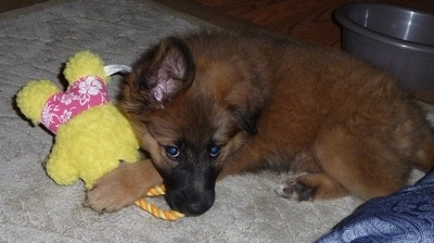 A fluffy brown with black Malinois X puppy is laying on a tan rug and under its front paw is a yellow plush doll toy in floral pink shorts with a rope connected to the top.