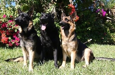 German Shepherd Puppies on German Shepherd Dog Information And Pictures  German Shepherd Dogs