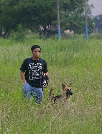 A black and tan German Shepherd is standing in a field of tall grass with a person holding a leash to its left