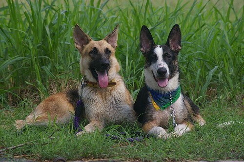 A black and tan German Shepherd is laying next to a black and tan with white Panda Shepherd who is wearing a blue, green and yellow bandanna in front of tall grass.