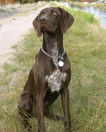 German Shorthaired Pointer Dog Breed Information and Pictures